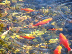 Vissen worden gevoerd