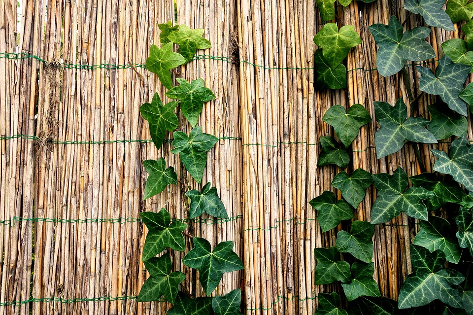 Klimplant en schutting